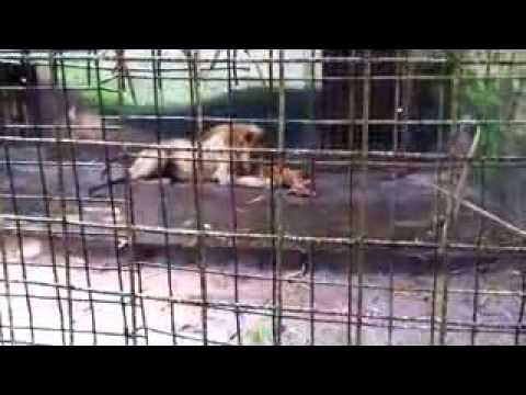 Lion Eats Goat at Benin City zoo