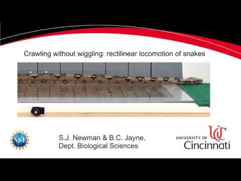 How snakes move: Muscle activity of rectlinear locomotion of boa constrictors