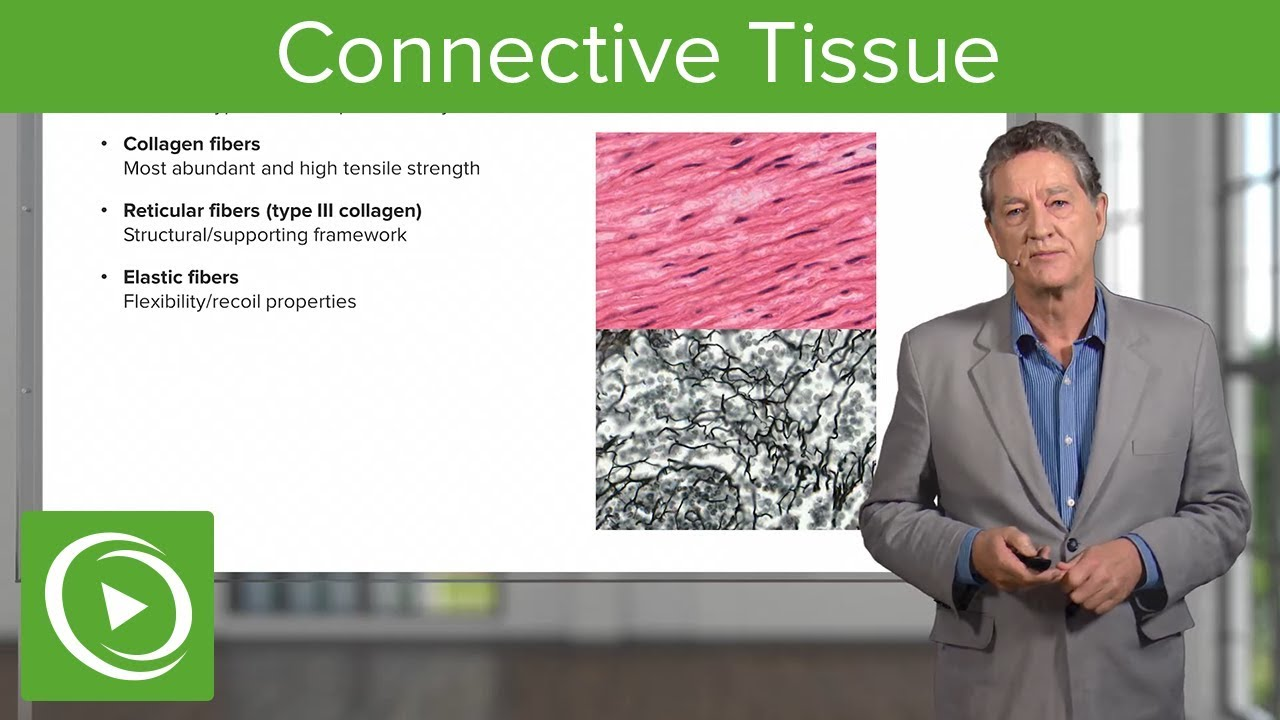 Connective Tissue – Histology | Lecturio