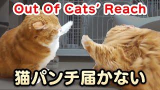 Out Of Cats'' Reach 〜 短足マンチカンの猫パンチが届かない 〜  【マンチカンズ】