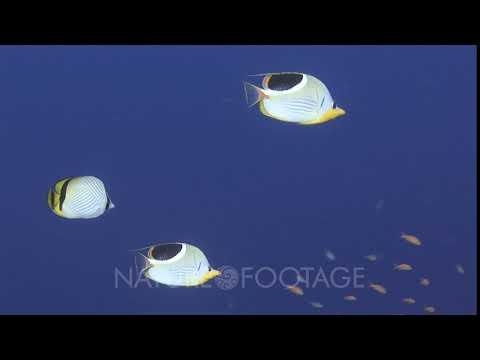 Pair Of Saddle Butterflyfish, Chaetodon Ephippium, And Vagabond Butterflyfish, Chaetodon Vagabund...