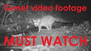 Rare video footage of a GENET - (France)