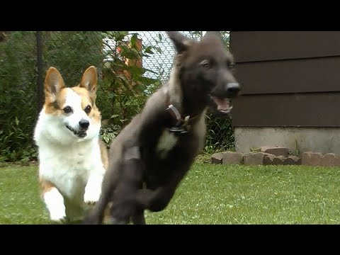 Corgi vs. Wolf Pup - What does a Corgi think of a wolf?