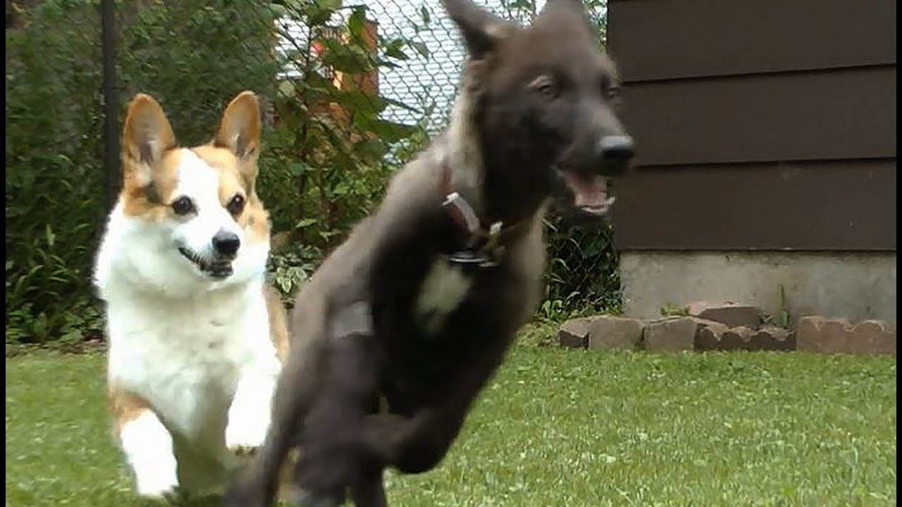 Corgi Vs Wolf Pup What Does A