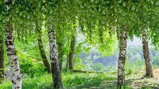 Березы природа лето футаж фон для монтажа видео скачать бесплатно footage hd background