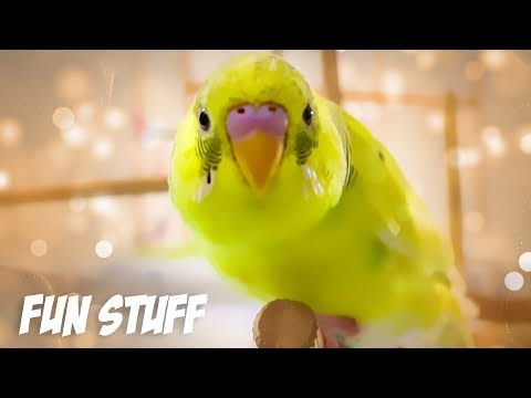 Fun Stuff to Do with a Budgie or Parakeet