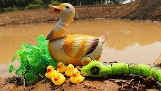 The hulk Saves Duck mother From Snake Attack | Snake eat ducklings