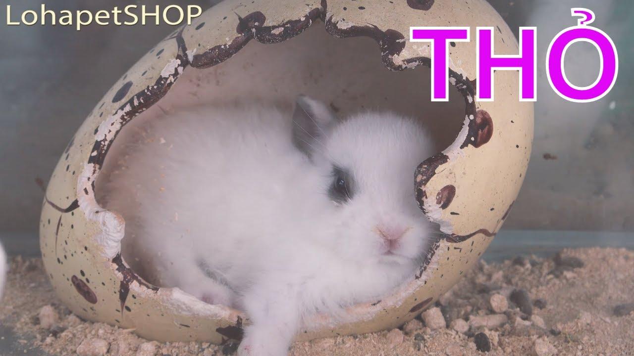 Bán Thỏ lùn Hà Lan ở Cửa hàng Thú cưng Long An LoHa Pet Shop - Netherland Dwarf Rabbits at pet store