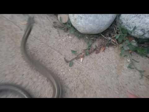 How to catch a common lined garter snake