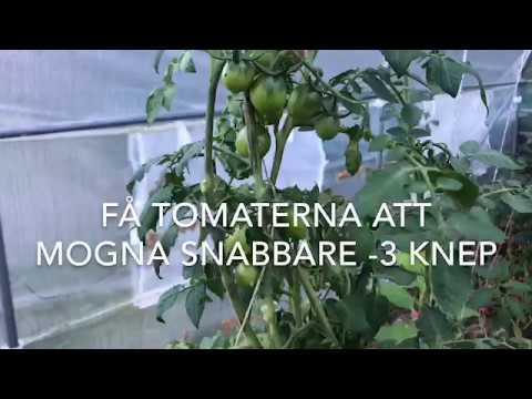Få tomaterna att mogna snabbare 3 knep