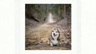 Pembroke Welsh Corgi Dog Photography