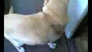 叔母が飼っているラブラドールのラブちゃん。 いつも柴犬しか見てないの...