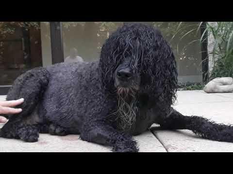 Bouvier des Flanders BISHOP is a SERVICE DOG