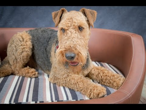 Hamish - Airedale Terrier - 4 Weeks Residential Dog Training