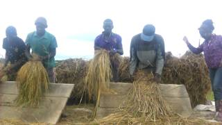 Man power way of rice threshing in Ghana, Donaso to be precise