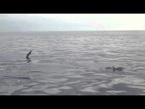 小笠原でイルカ Spinner Dolphins at Ogasawara, Tokyo, Japan