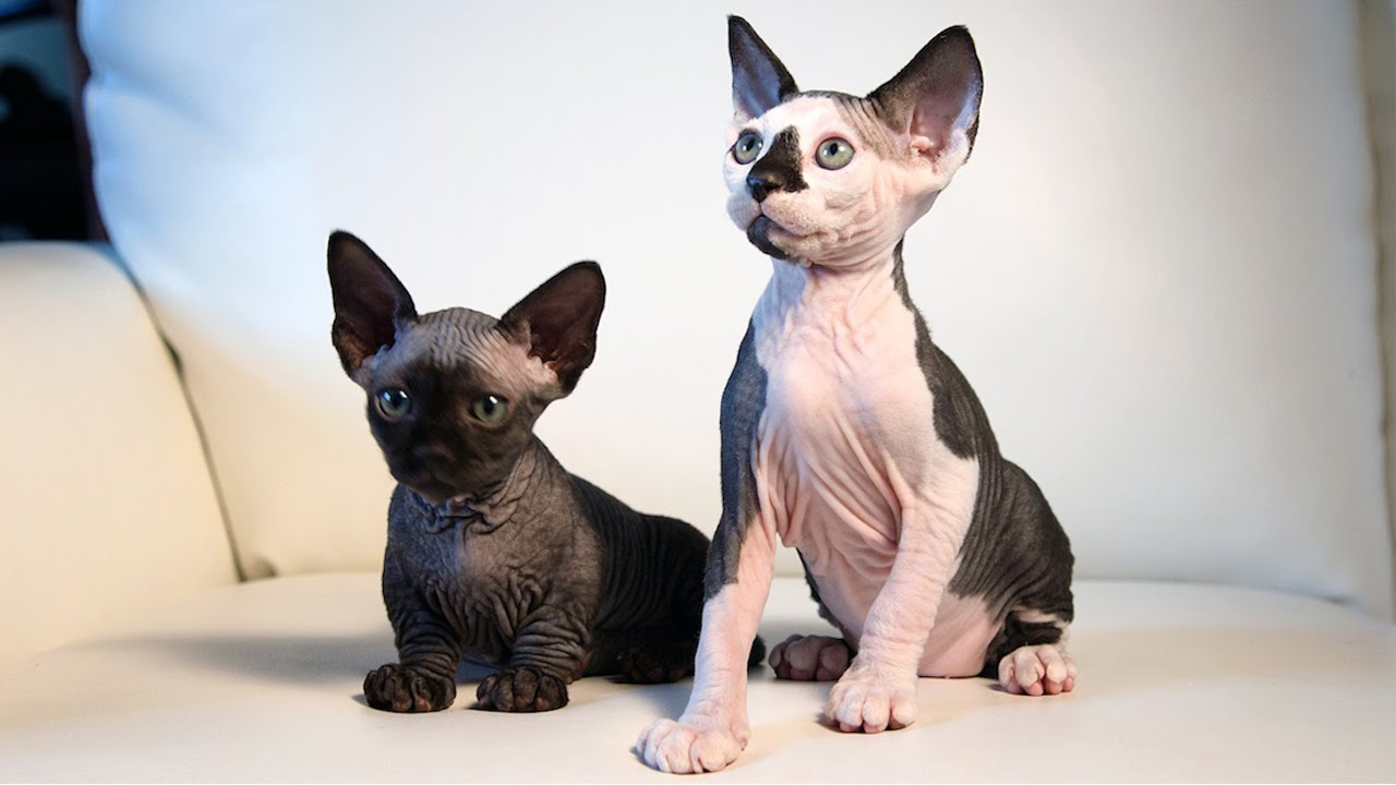 New Cat Breeds Meet the Hairless SphynxieBob And BamBob