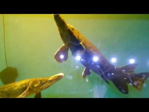 MUST WATCH!! Amazing Alligator Fish in Aquarium Exhibition at Thane Art Festival 2017