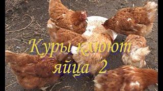 Куры клюют яйца 2(курочки перестали клевать яйца. Что я сделал для этого., 2015-03-03T09:52:12.000Z)