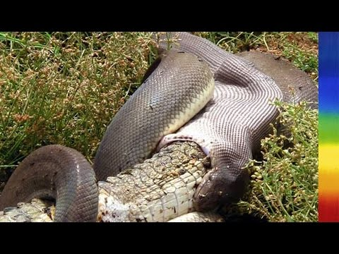 Attack of the Giant Pythons in Florida - National Geographic Documentary