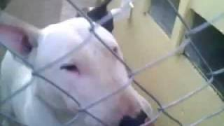 Bull Terrier Aggression