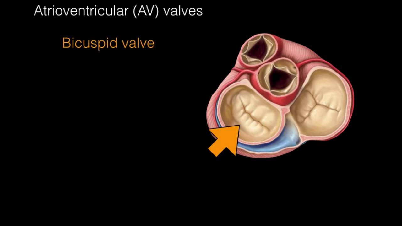 Heart Valves Anatomy Animation - YouTube