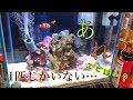 【癒し】〜カクレクマノミ水槽〜マリンアクアリウムゆっくり実況part3