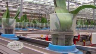 Orchid Planting Process - Just Add Ice Orchids