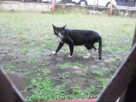 Jakarta Animal 10 This Black Cat does not like chicken bone BR TiVi 3139 MVI 3222