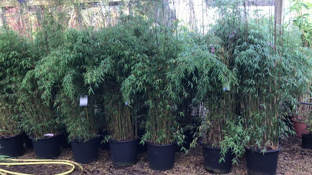 Fargesia Bamboo At Plant Nursery In