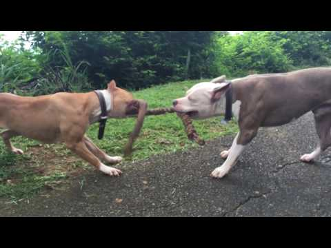 Pit Bull Terrier VS. American Bully