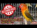 Pancingan Lovebird Dewasa Fighter  Mp3 - Mp4 Download