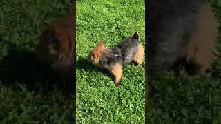 Norwich Terrier in NYC park 5/13/20