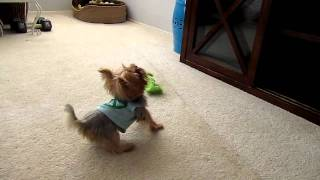 Zola the Tiny Yorkie Puppy Barks at Commercial on TV