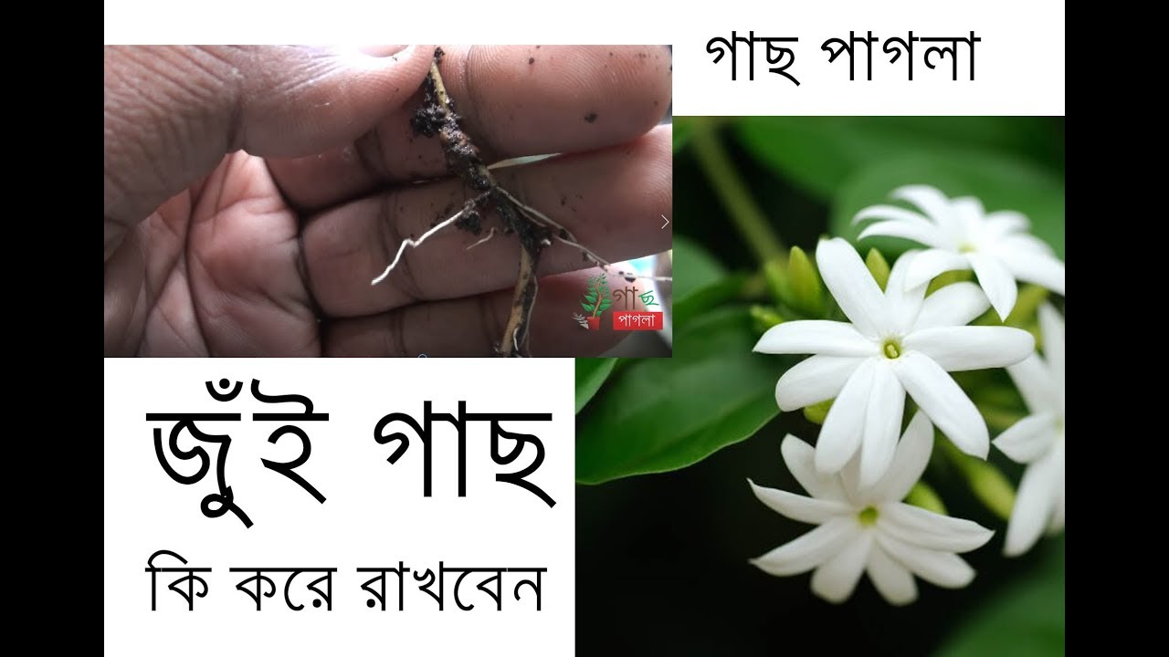 Jasmine plant mogra flower how to plant jasmine care jasmine plant mogra flower how to plant jasmine care tips izmirmasajfo
