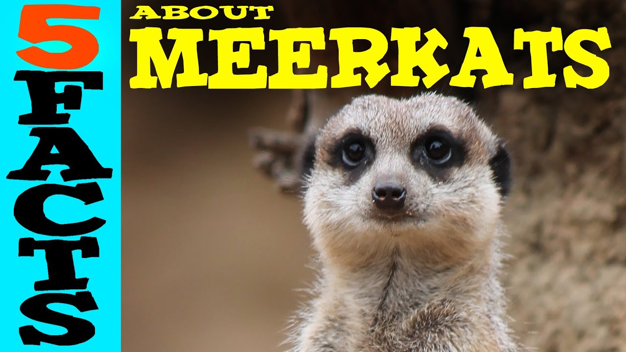 5 Facts about Meerkats - YouTube
