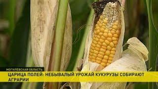Небывалый урожай кукурузы в Могилёвской области