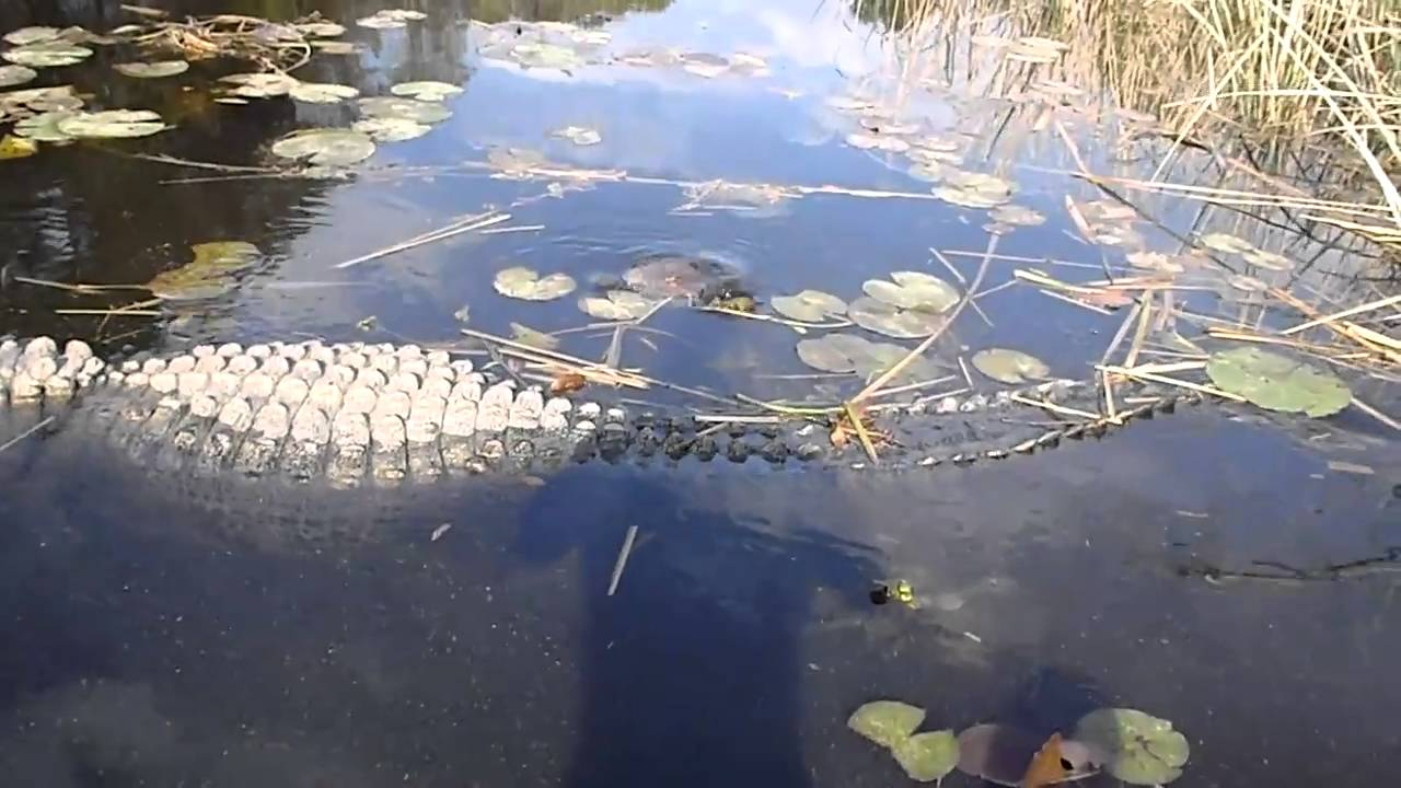 Huge alligator youtube for Lake moultrie fishing