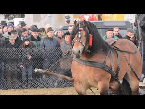 Skaryszew Wstępy 2017 pokaz ogierów