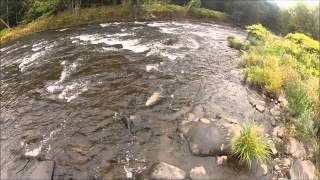 Brown Trout Douglaston Salmon Run 9/13/14