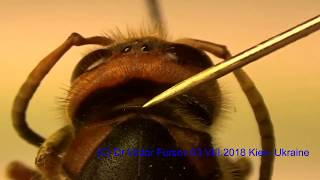 Hornet,  or Vespa crabro, The Big Enemy of Beekeepers?