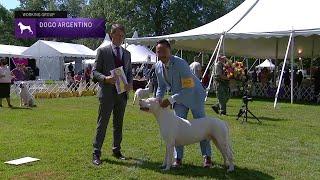 Dogo Argentinos | Breed Judging 2021