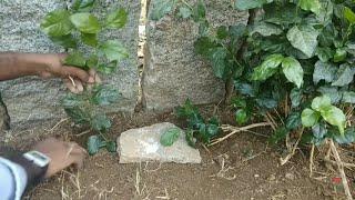 Jasmine plant layering || jasmine plant propagation ||