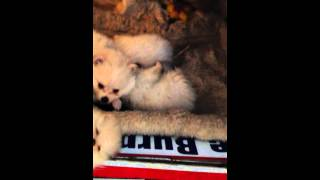 For Sale: Ckc Pomeranian Pups 2 Litters