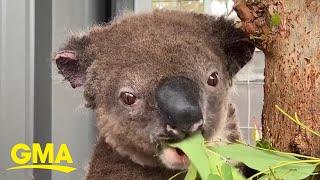 paul-the-koala-makes-miraculous-recovery-after-rescue-from-australian-bushfire-l-gma-digital