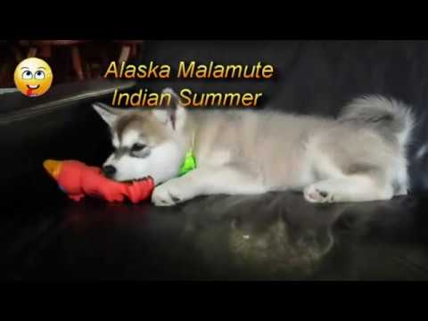 Alaskan Malamute Indian Summer - playing with a puppy toy.