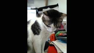 Angry cat. Thumbnail