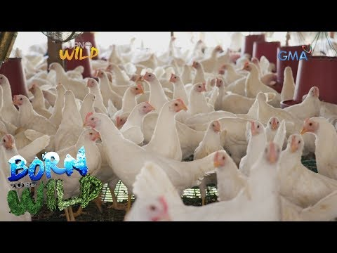 Born To Be Wild: Commercial Egg Production