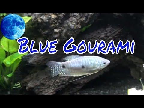 Blue Gourami Care Guide
