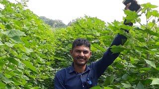 પ્રાકૃતિક ખેતીમાં આંકડાની ઉપયોગિતા, ફૂગનાશક આંકડો